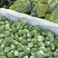 Brussels Sprouts Planting/Harvesting Program