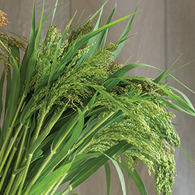 How to Grow Panicum violaceum - Green Drops Ornamental Grass