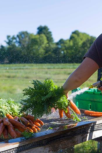 Washing Carrots at Black Kettle Farm