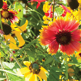 How to Grow Xeriscape Flower Mix for the Eastern US/SE Canada