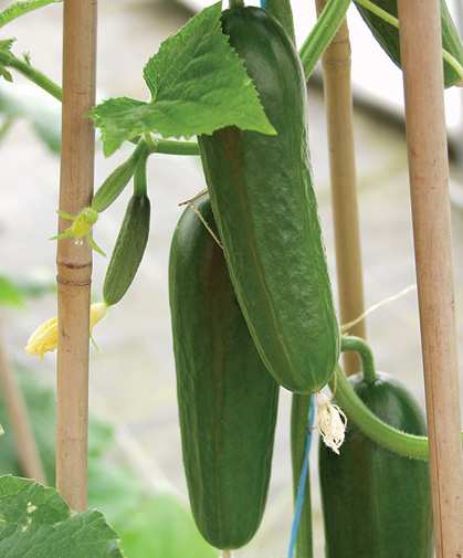 These developing cucumbers are supported by bamboo trellising to keep the fruits up off the ground.