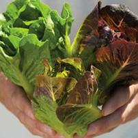 Full Head Lettuce Planting Program