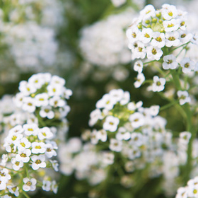 How to Grow Alyssum