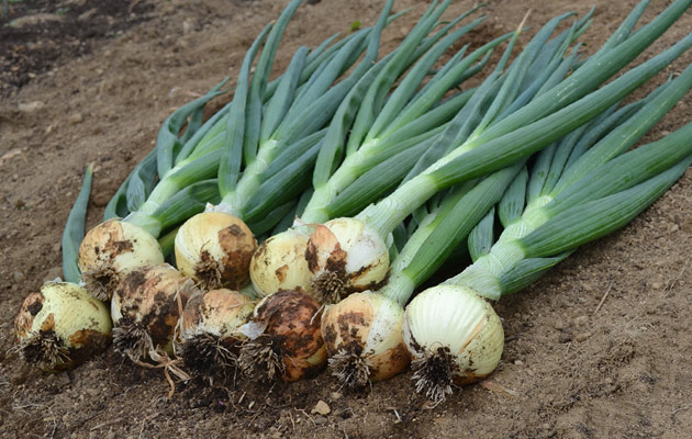 Overwintering Onions for Early Spring Harvest