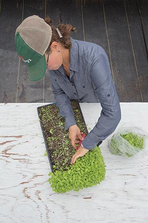 Harvesting Tokyo Bekana Microgreens