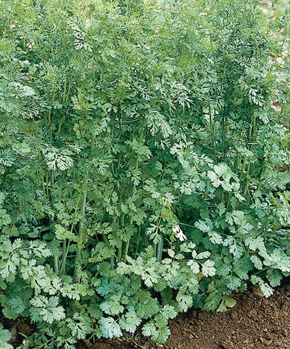 Mature planting of the culinary herb cilantro, the fresh form, or alternatively known as coriander, the dried seed form.