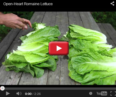 Auvona Open-Heart Romaine