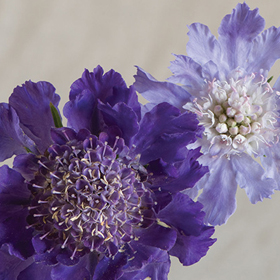 How to Grow Caucasian Scabiosa