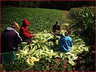 Cornfield Harvest