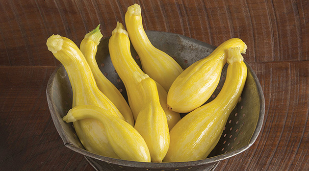 Johnny's-Bred Tempest Summer Squash Is a Culinary Star