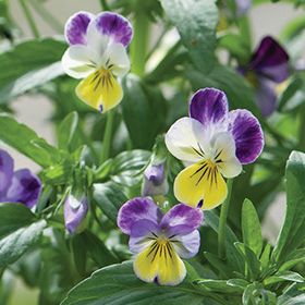 How to Grow Viola (Pansies)