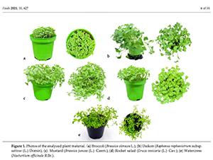 Study of Brassica Microgreens
