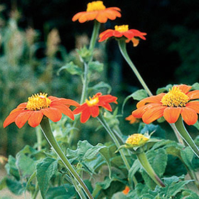 How to Grow Tithonia (Mexican Sunflower)