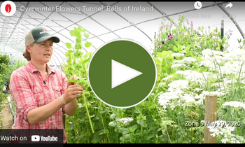 View Our Overwinter Flower Tunnel Bells of Ireland Video