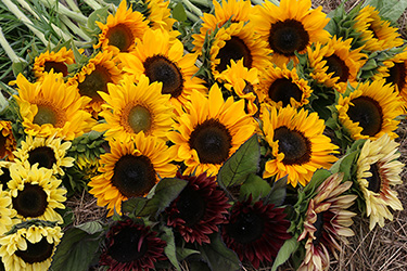 Sunflower Diversity