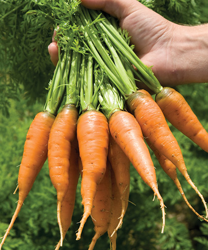 Handful of freshly harvested and washed, early-season carrots of the wedge-shaped, Chantenay type.