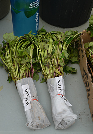 Sweet potato slips, wrapped and waiting for planting