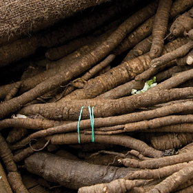 How to Grow Burdock Root