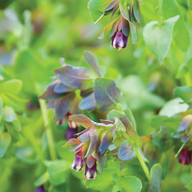 How to Grow Cerinthe