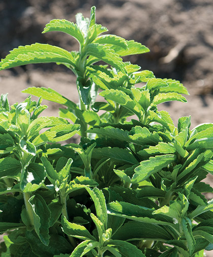 Stevia plants; following sowing, seeds must receive light exposure and be kept warm and moderately moist to germinate.