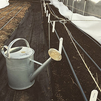 Water crops to get them started but they will generally not need repeat watering until daylight is 10 hours long again.