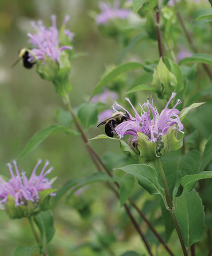 Bee balm flowers attract and sustain pollinating insects in the garden.