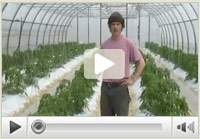 Grafting Greenhouse Tomatoes