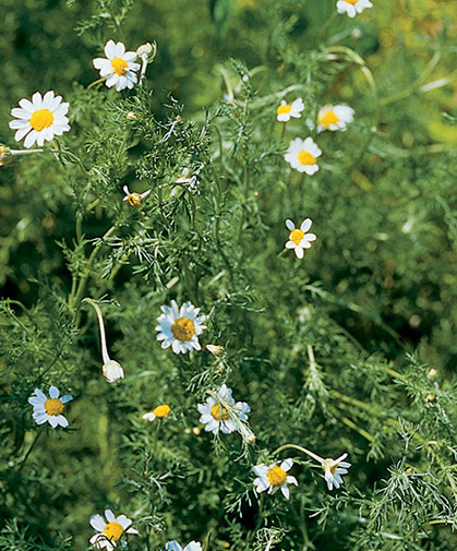 Roman chamomile plant, sown from seed in fall or spring, offers evergreen foliage, rich fragrance, and a groundhugging habit.