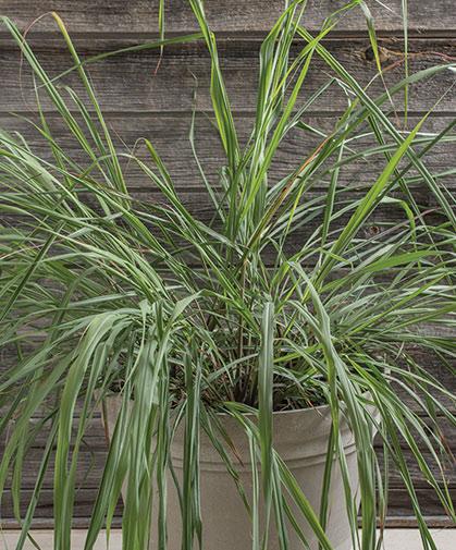 Container planting of East Indian lemon grass (Cymbopogon flexuosus), grown from cleaned seed.