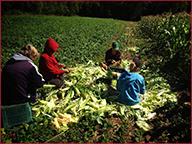 Corn field harvest