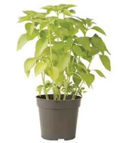 Container-grown Mrs. Burns's Lemon Basil Plant
