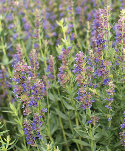 A planting of the herb hyssop, known for its fragrant, bright-blue flowers, attracting pollinators, and antiviral properties.