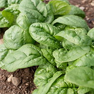 Tasman Spinach