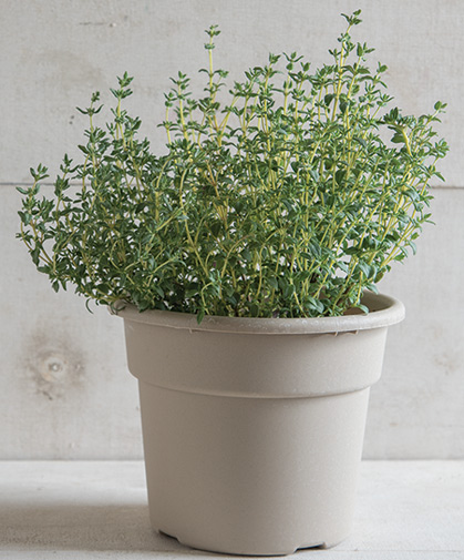Thyme disk in its pot at maturity.