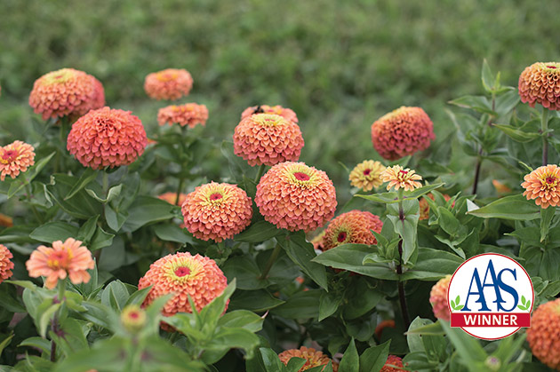 New 'Queen Lime Orange' Zinnia Available Through Johnny's Selected Seeds