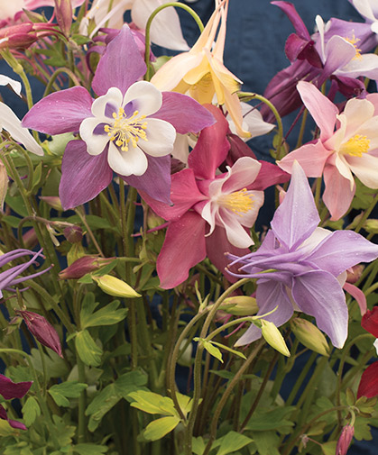 A clump of columbine hybrids, a highlight of the cutting garden in spring to early summer.