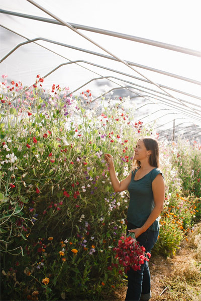 Stacey overwinters sweet peas in her high tunnel at Flora Farm in Zone 8b.