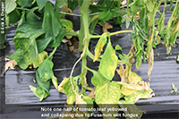 Fusarium wilt on tomato