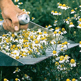 How to Grow Common Chamomile