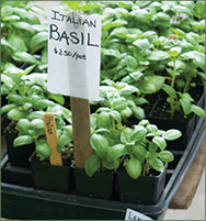 Locally Grown Basil
