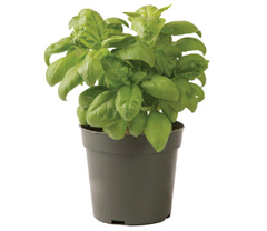 Container-grown Genovese Compact Improved Basil Plant