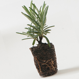 How to Grow Rosemary from Vegetative Plugs