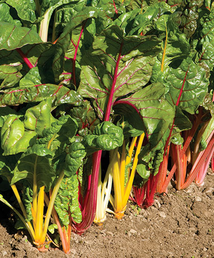 A row of our signature Swiss chard variety, 'Bright Lights,' growing in the field.