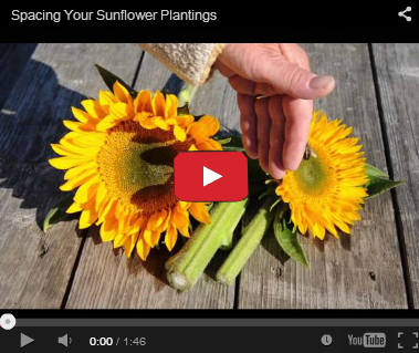 Spacing Sunflower Plantings