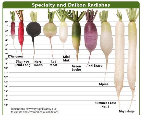 radish specialty daikon varieties planting program. Black Bedroom Furniture Sets. Home Design Ideas