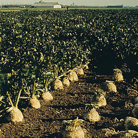 How to Grow Celery & Celeriac