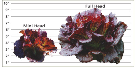 Dimensions of Mini Head Lettuce vs Full Head Lettuce