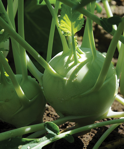 A fresh-eating kohlrabi variety, being held in the field until harvest-time.
