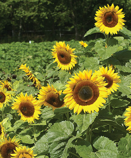 A planting tall, robust sunflowers in full bloom in our sunflower trials.