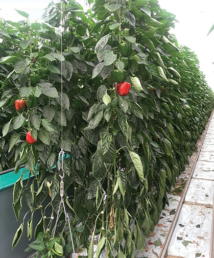 Greenhouse peppers, grown on hanging trellises in our greenhouse trials.